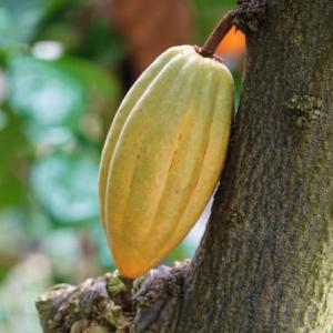 カカオの効果効能とは?チョコレートの原料であるカカオの秘密と効果を知ろう!
